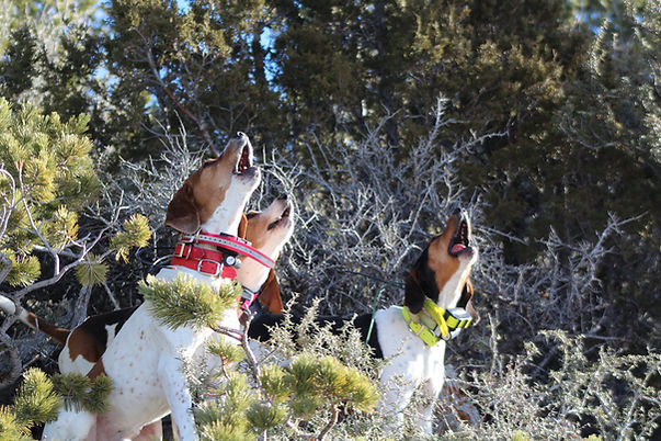 Wyoming hound hunting with O'Brien Creek Outfitters