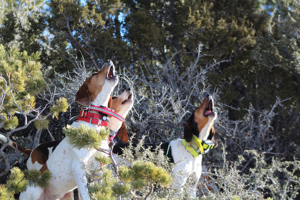 Wyoming Mountain Lion Hunting with Hounds - O'Brien Creek Outfitters