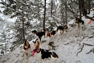 Mountain Lion Hunting with Hounds in Wyoming - O'Brien Creek Outfitters