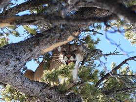Wyoming Mountain Lion