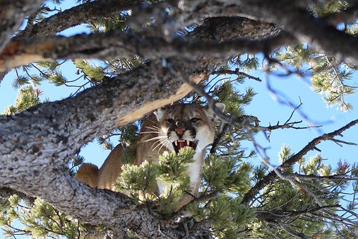 Guided Mountain Lion Hunts in Wyoming with O'Brien Creek Outfitters