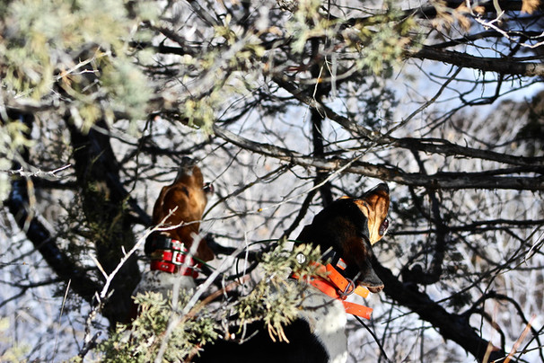 Guided mountain lion hunts using hound dogs in Wyoming with O'Brien Creek Outfitters