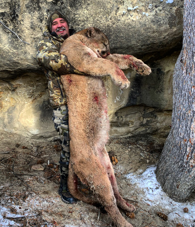 Wyoming Guided Mountain Lion Hunt with O'Brien Creek Outfitters