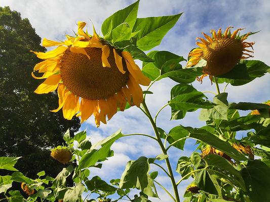 TNAC Sunflowers 9-18-19.jpg