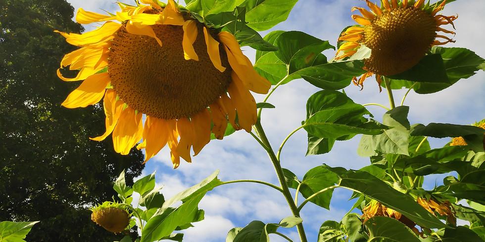 10:00am Sunflower Seed Harvest