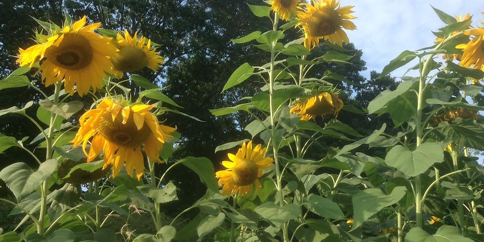 11:30am Sunflower Seed Harvest