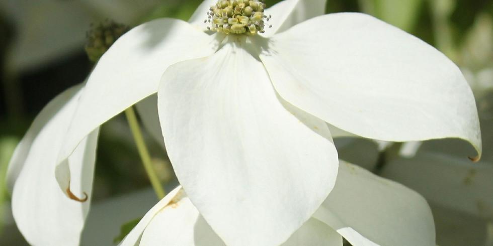 White Dogwood Tree Plug Giveaway