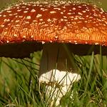 Merril Mushroom.PNG