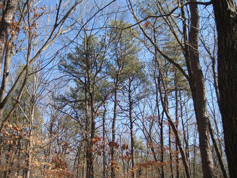 Wharton Brook Pitch-pine-oak forest before management