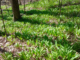 Wild ramp patch (Wikle)