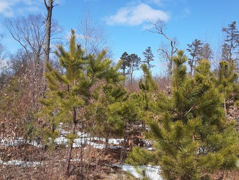 Wharton Brook Pitch Pine Regeneration