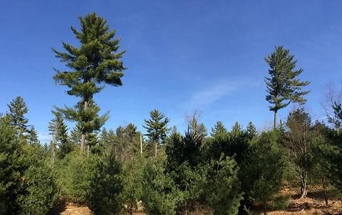 Pine management (pine seed tree harvest) emulates disturbance