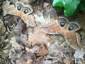 Polyphemus moth (Wikle)