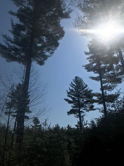 Wikle_White Pine_sun
