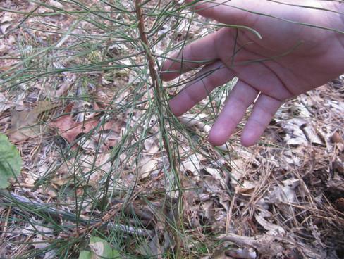 Wharton Brook pitch pine seedling
