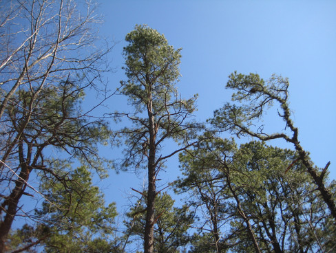 Wharton Brook pitch-pine-oak forest after harvest to open up canopy