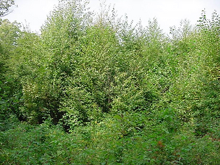 A young forest, developed years after a prescribed burn