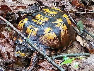 Box Turtle_J Milne.jpg