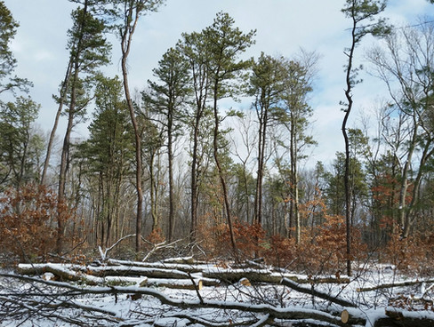 Wharton Brook pitch pine forest post-harvest