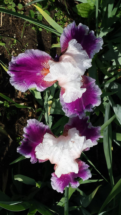 Blooming Iris
