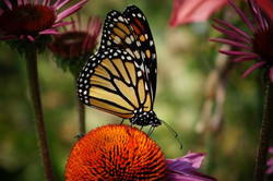 Butterfly by Pat Rose