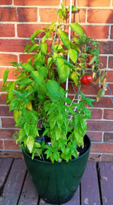 Pizza Garden Plants with Purpose Winner