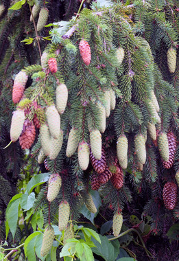 Hedgerow Purple Pinecone