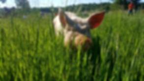 cochon plein air.jpg
