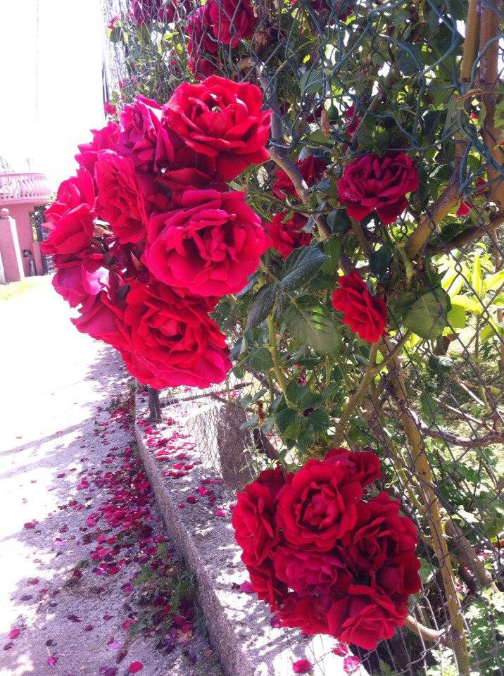 розы в Баре Черногория, где найти розы в черногории, роза черногория