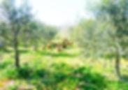 crnagoriya.com_plantaza_maslin9.jpg