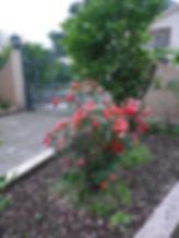 Ораховац розы