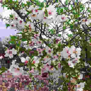 цветение абрикоса в Черногории, абрикос в Баре, абрикос в Будве, абрикос Будва, деревья с белыми цветами в черногории