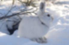D15 Hare 4.JPG