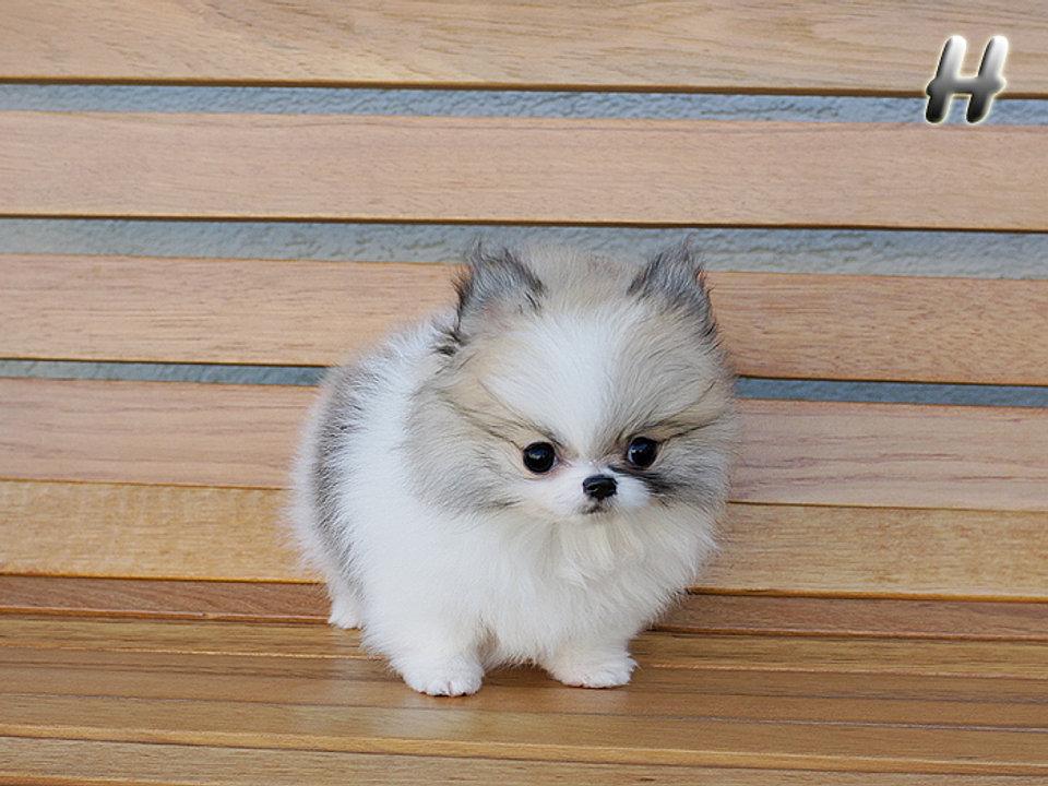 Teacup, Micro Pomeranian puppies Available  Miniature