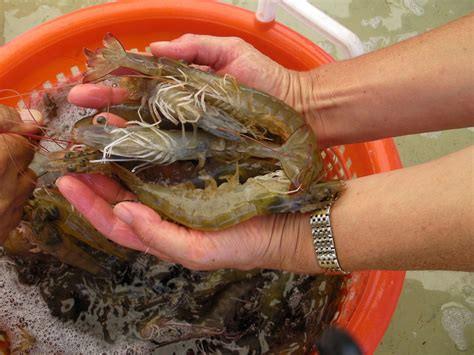 Kauai Shrimp