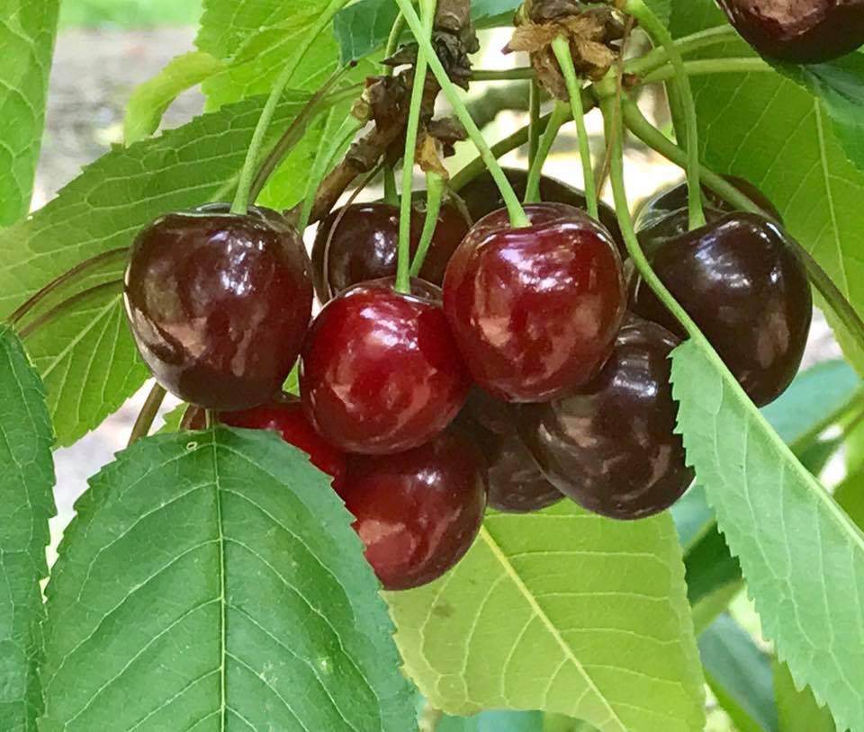 Close-up Cherries
