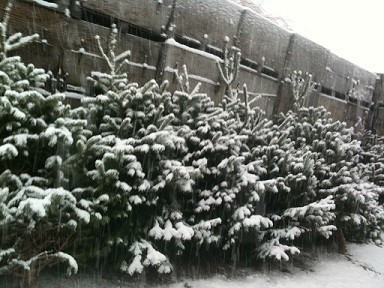 Xmas Trees in Snow
