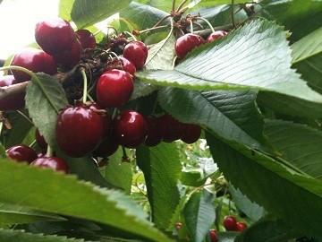 Cherries Ready to pick