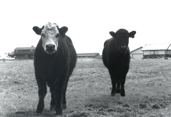 Infrared Cows