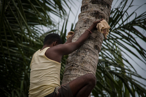 Climbing a cocconut tree is a hard task that requires a lot of skills, and it's done with no security.