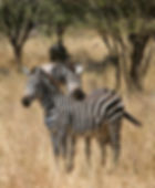 Zebras taking a break, Seregenti, Tanzana, African Safari