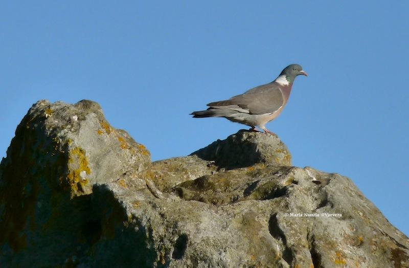 Wood pigeon, Avebury standing stone