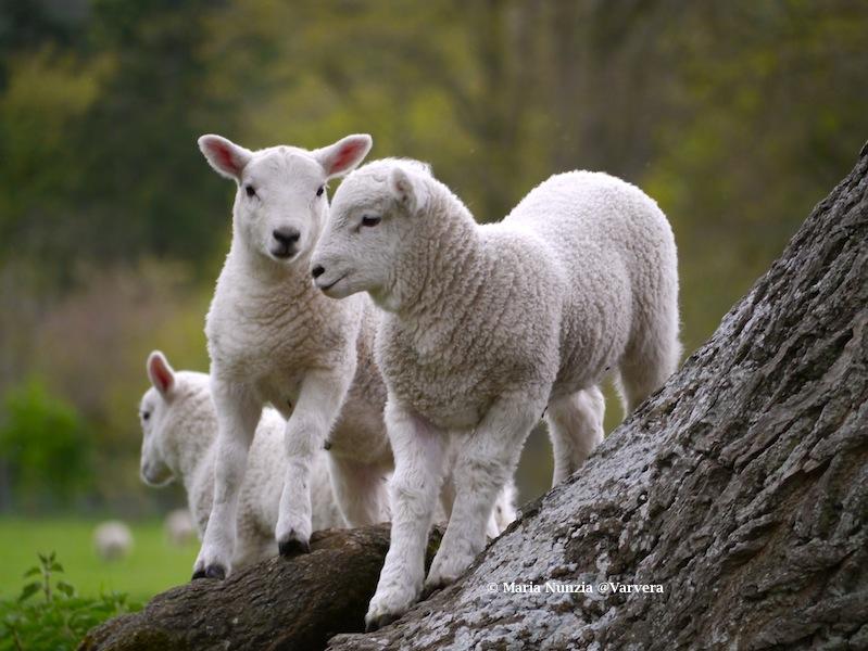 Spring Lambs Wenlock Edge