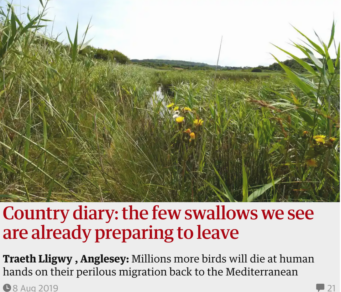 Country diary: the few swallows we see are already preparing to leave. 8 Aug 2019