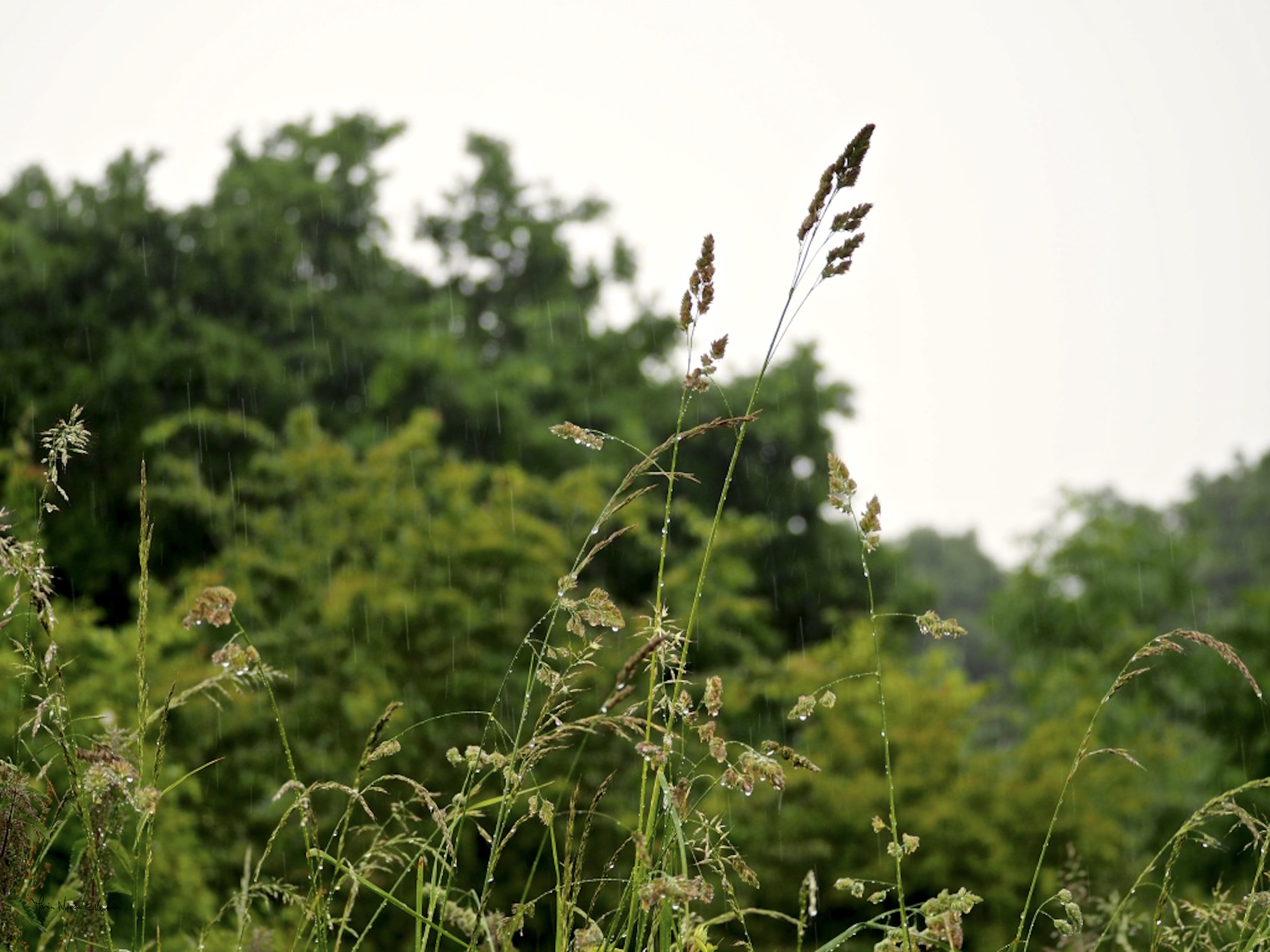 Rain_on_grasses_Londge_Hill_©_Maria_Nunzia__Varvera_