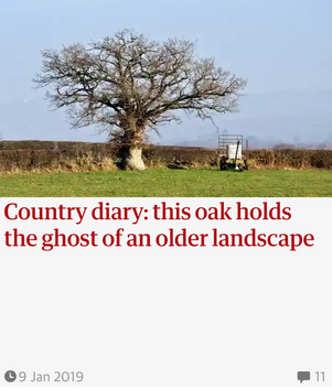This oak holds the ghost of an older landscape. Guardian Country Diary 9 Jan 2019