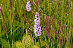 Late early purple orchid