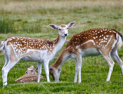 Fallow deer at Attingham Park, Shropshire, UK