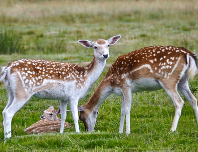 Fallow deer at Attingham Park, Shropshire, UK