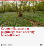 Country diary: spring pilgrimage to an uncanny bluebell wood. Guardian Country Diary 2 May 2019